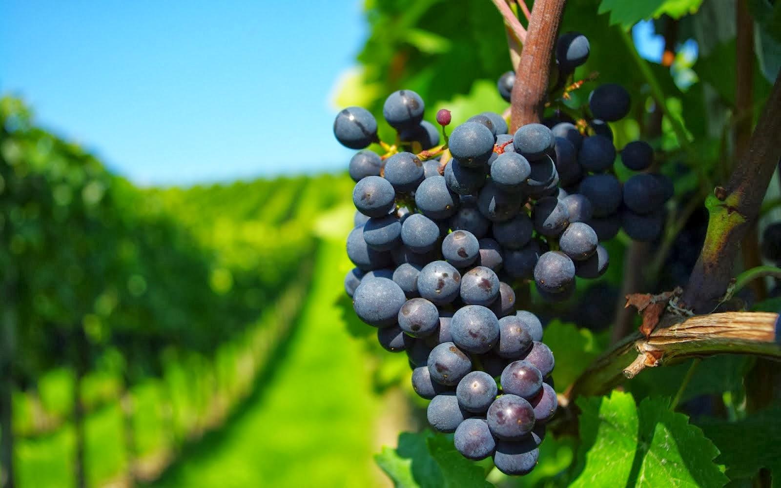 Dos de los mejores viñedos para realizar un tour cerca de Barcelona